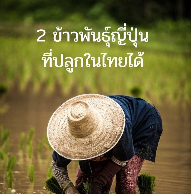 2 ข้าวพันธุ์ญี่ปุ่น ที่ปลูกในไทยได้