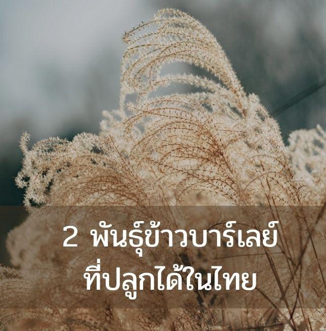 2 พันธุ์ข้าวบาร์เลย์ ที่ปลูกในไทยได้